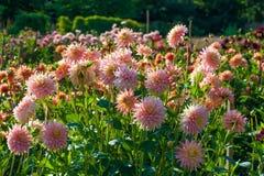 Asterów kwiaty Zdjęcia Stock