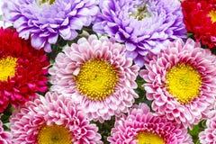 Asterów kwiaty Obrazy Stock