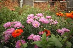 Asterów kwiaty w wieśniaka ogródzie zdjęcie royalty free