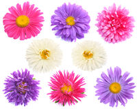 Aster. Design Elements: eight of aster flowers.  White Background Stock Photography