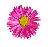 Aster Stock Image