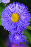 Aster Royalty Free Stock Photos