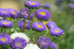 Aster. Close up of violet aster Royalty Free Stock Photo
