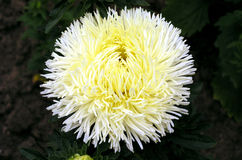 Aster 2. Yellow aster stock photography