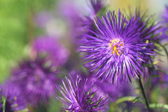 Aster. Close-up of violet aster Royalty Free Stock Images