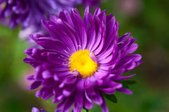 Aster. Growing in the flowerbed Stock Photos