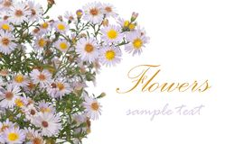 Aster. Alpinus aster isolated on white. With sample text stock photography