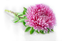 Aster. Flower aster on white background Royalty Free Stock Photos