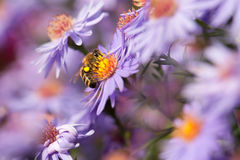 Aster. And bee with good hight Royalty Free Stock Photos