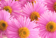 Aster Images stock
