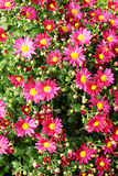 Aster. Focus on a center Royalty Free Stock Photo