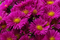 Aster. Pink background flowers in fall Stock Image