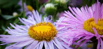 Aster alpine lilac flowers close-up in morning dew-drops. Flowers in garden Stock Images