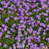 Aster alpini di fioritura - aster Alpinus Immagini Stock Libere da Diritti