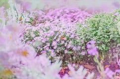 Aster alpino porpora Fotografia Stock