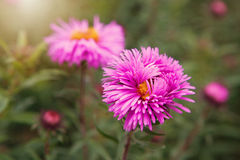 Aster alpinus Alpine aster in the late autumn garden Royalty Free Stock Images