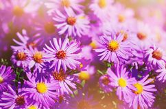 Aster alpinus alpine aster in late autumn at sunset. Beautiful summer background. royalty free stock photography