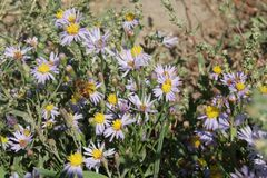 Aster alpinus or Alpine aster purple or lilac flower with a bee Royalty Free Stock Photo