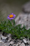 Aster alpinus (Alpine aster) - violet flower with yellow center on rocks. Stock Photography