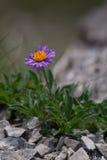 Aster alpinus (alpine Aster) - violette Blume mit gelber Mitte auf Felsen Stockfotografie