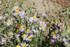 Aster alpinus or Alpine aster purple or lilac flower with a bee Royalty Free Stock Images