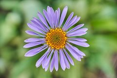 Aster alpinus beautiful closeup detail royalty free stock images