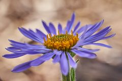 Aster alpinus beautiful macro detail stock photo