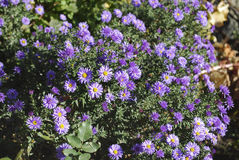 Free Aster Alpinus  Dunkle Shone  (Dark Beauty) Blossoming. Royalty Free Stock Photo - 80075815