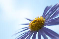 Aster Alpinus flowersor blue daisies under a bright blue sky Royalty Free Stock Photos