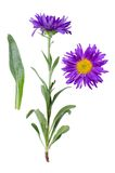 Aster alpinus royalty free stock images