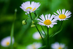 Aster alpinus is an ornamental plant Stock Images