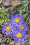 Aster alpinus purple violet flowers in bloom, Alpine aster flowering mountain plant stock image