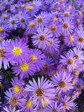 Violet autumn flower & x28;aster& x29; stock image