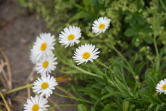 Aster alpinus Royalty Free Stock Photography