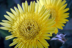 Aster amarillo Imagen de archivo