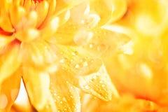 aster amarillo de la flor, margarita Imagen de archivo