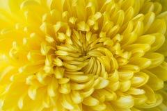 aster amarillo de la flor, margarita Fotos de archivo libres de regalías
