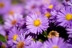 Free Aster Amellus Royalty Free Stock Photography - 11183427