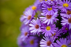 Aster amellus. Flower in front of the garden royalty free stock photos