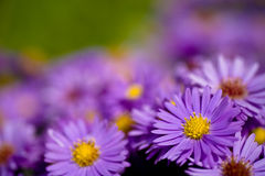 Aster amellus Royalty Free Stock Photo