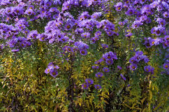 Aster amellus. ( Asteraceae ) bush in field of flowers stock photography