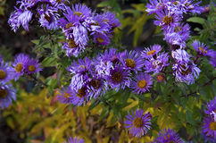 Aster amellus Stock Photos
