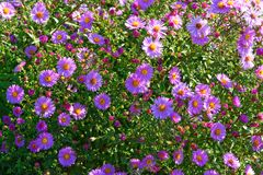 Aster amellus Royalty Free Stock Image