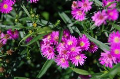 Aster amellus Daisy. Purple European Michaelmas Daisy. Honey and landmark, very beauty. Aster amellus royalty free stock image
