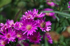 Aster amellus Daisy. Purple European Michaelmas Daisy. Honey and landmark, very beauty. Aster amellus royalty free stock images