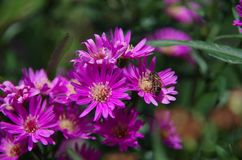 Aster amellus Daisy. Purple European Michaelmas Daisy. Honey and landmark, very beauty. Aster amellus royalty free stock photos
