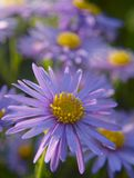 Aster amellus, the European Michaelmas-daisy. Violet-colored flowers form a background or wallpaper of autumn style stock image