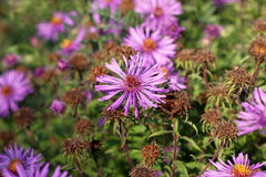 Aster amellus, the European Michaelmas-daisy in autumn Stock Image