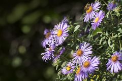 Aster amellus, the European Michaelmas-daisy, is a perennial herbaceous plant of the genus Aster. In the language of flowers, symbolizes a farewell or a royalty free stock photography