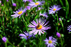 Aster amellus Royalty Free Stock Photography